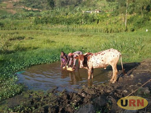 Children sharing water with a cow at Kigezi swamp in Kanaba Sub County