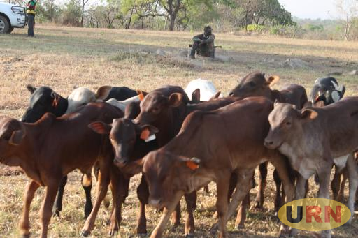 Some of the livestock in Aswa Ranch