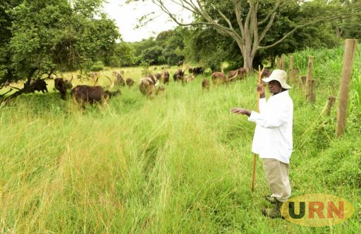 Museveni looking after his cows recently