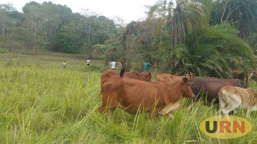 Some of Irumba's cows that were cut.
