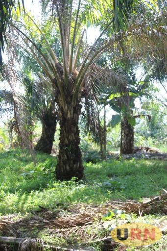 Some of the attacked Oil Palm trees in Kalangala, where edible beetles are bothering farmers.