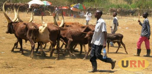 A pastoralist drawing cattle to Ngoma market for sell before the Quarantine was imposed. Many Pastoralists are now crying foul over the ban.