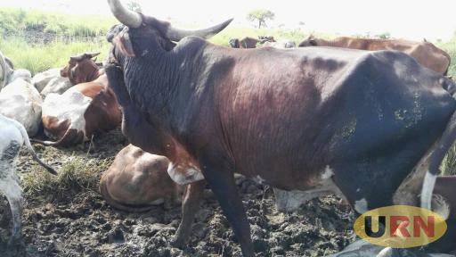 Some of the cattle infected with lumpy skin disease in Moroto.