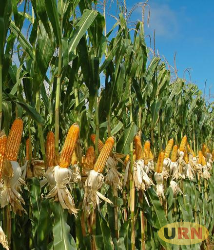 Uganda is experiencing maize surplus that has lowered prices to Uganda shilling 200