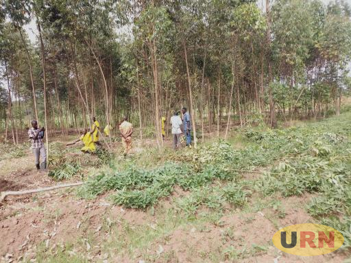 Lwengo Inmates cutting down a forest during a recent operation  against wetland destruction