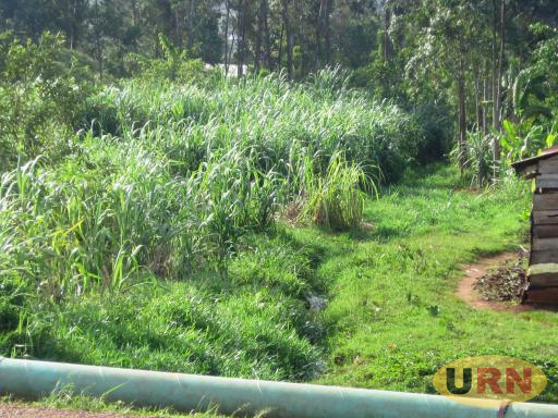 Sugarcane grown in Bugembe wetland in Jinja district