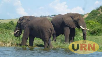 Elephants At Muchison Falls National Park. Their Ivory Is On High Demand and are highly endangered species