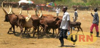 A Pastoralist Drawing His Cattle To Ngoma Market For Sell Before The Quarantine Was Imposed In