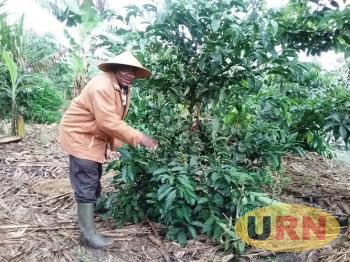MP Mathias Kasamba shows how a coffee variety called ELITE looks like at just four years.